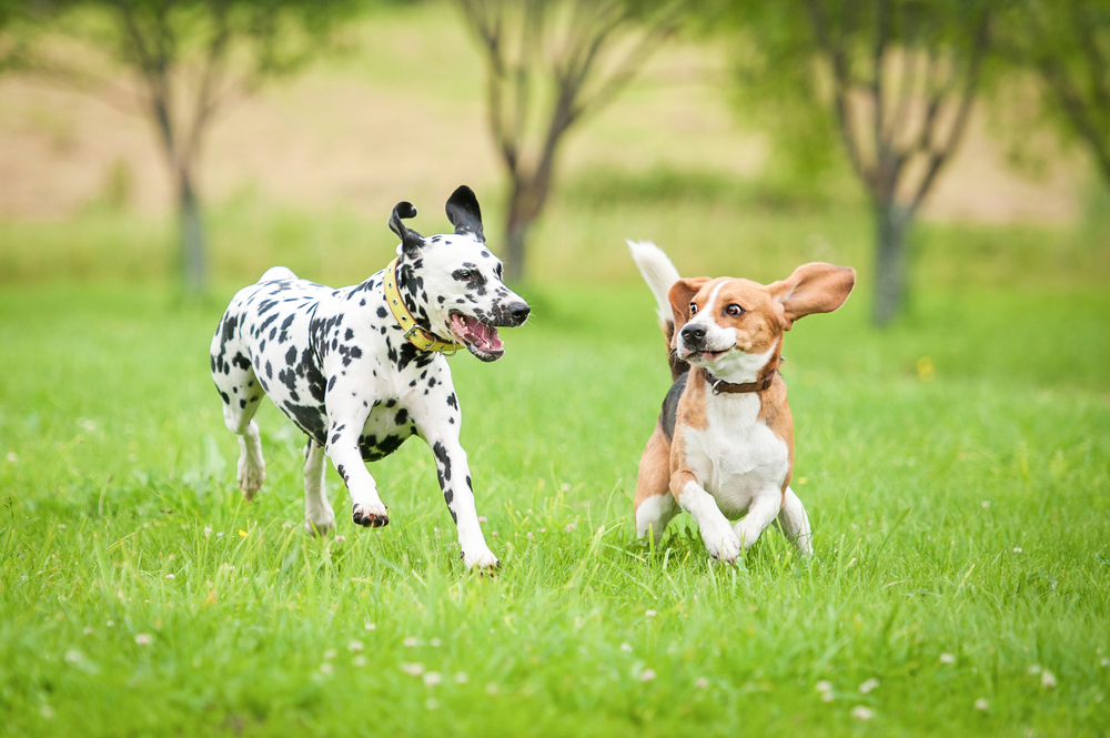 dogs_playing_234232969
